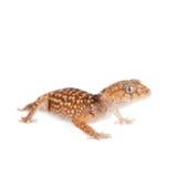 Gecko Bouton-coupé la queue rugueux sur le blanc photographie stock