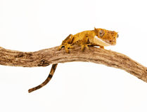 Gecko on a branch Royalty Free Stock Photos