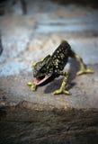 gecko Breve-dalle dita Immagine Stock