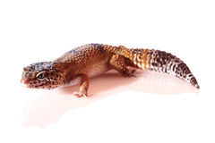 This gecko brightly colored and has a nice texture and for cultivation Stock Photo