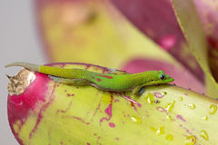 Gecko Bromeliad Royalty Free Stock Photo