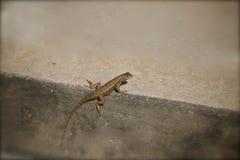 Gecko lizard. Brown gecko climbing the curb Stock Images