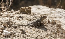 Gecko on gray stones on a Sunny day stock image