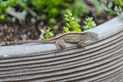 Gecko Camouflage Royalty Free Stock Photos