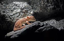Gecko casqué ou Tarentola Chazaliae dormant dans la caverne image stock