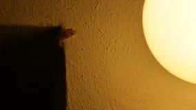 Gecko chassant le petit papillon et la consommation clips vidéos