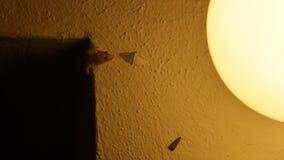 Gecko chassant le petit papillon et la consommation banque de vidéos