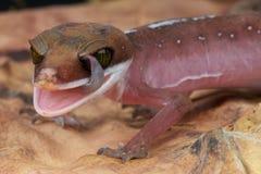 Gecko che lecca gli occhi fotografia stock libera da diritti
