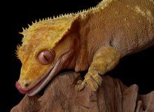 Gecko che lecca gli orli fotografia stock libera da diritti