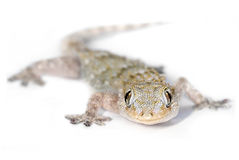 Gecko che lo esamina immagine stock libera da diritti
