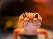 Gecko che lo esamina Immagini Stock Libere da Diritti