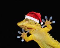Gecko with christmas hat. Funny gecko with christmas hat that greets everybody on black background Stock Photos