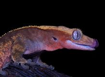 Gecko, ciliatus di Rhacodactylus fotografia stock