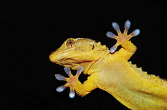 Gecko on the clear glass Stock Images