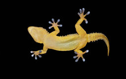 Gecko on clear glass. Gecko showing his sticky fingers on clear glass Stock Photo