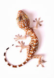 Gecko climbing. On white background Royalty Free Stock Photo