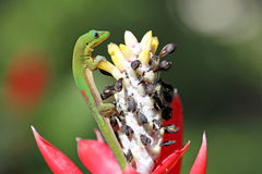 Gecko climbing the flower. Wild Gold Dust Day Gecko in Oahu, Hawaii Stock Images