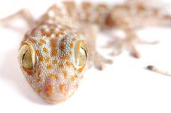Gecko climbing isolated. Gecko climbing on white background Stock Image