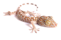 Gecko climbing isolated. Gecko climbing on white background Stock Images