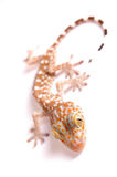 Gecko climbing isolated. Gecko climbing on white background Royalty Free Stock Images