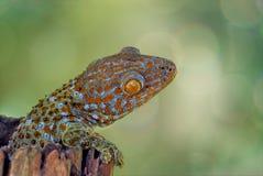 Gecko Stock Image