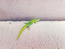 Gecko climbing a wall Stock Images