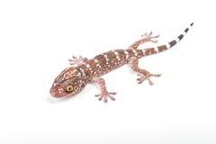 Gecko climbing. On white background Royalty Free Stock Photos