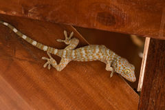 Gecko climbing on wooden. Wall Royalty Free Stock Images