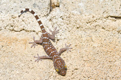 Gecko cling. To the wall Stock Photos