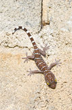 Gecko cling. To the wall Stock Images