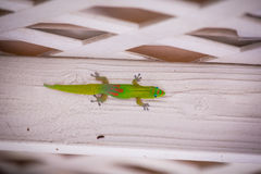 A gecko clings to a wall Royalty Free Stock Photography