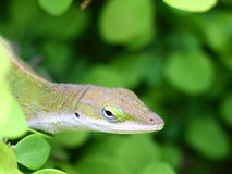 Gecko close with green background. A curious gecko appears his head from the green bushes Royalty Free Stock Images