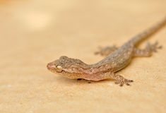 Gecko close up Royalty Free Stock Photography