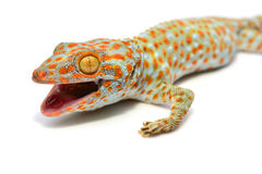 Gecko. Closeup of gecko isolated on white background stock images