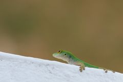 Gecko closeup sideways Royalty Free Stock Photo