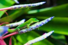 Gecko coloré image stock