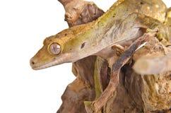 Gecko com crista (1) Imagens de Stock Royalty Free