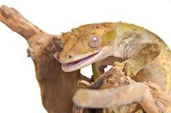 Gecko com crista (3) Foto de Stock Royalty Free