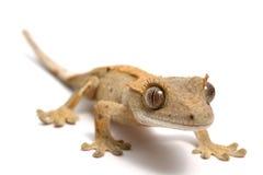 Gecko com crista Foto de Stock Royalty Free