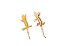 Gecko com crista Fotografia de Stock Royalty Free