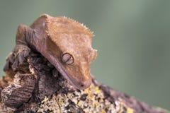 Gecko com crista Isolado contra um fundo verde silenciado Foco nos olhos fotografia de stock