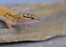 Gecko commun de léopard sur la roche photos libres de droits