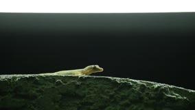 Gecko commun de maison de la Thaïlande attendant à la mouche à fruit de chasse banque de vidéos