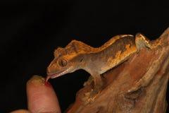Gecko con cresta Foto de archivo