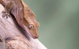 Gecko con cresta Aislado contra un fondo verde silenciado Foco en los ojos Imagenes de archivo