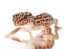 Gecko con la riflessione immagini stock libere da diritti