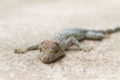 Gecko on concrete Stock Images