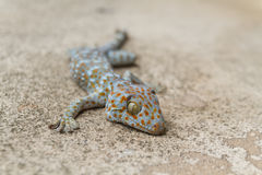 Gecko on concrete Stock Photography