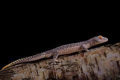 Gecko coupé la queue d'or de taenicauda de Strophurus image libre de droits