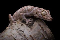 Gecko coupé la queue par bouton lisse image libre de droits